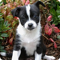 Adopt A Pet :: Hank - La Habra Heights, CA