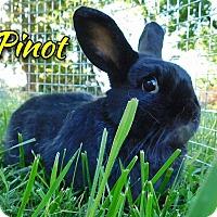 Adopt A Pet :: Pinot - Elizabethtown, KY