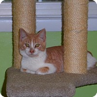 Adopt A Pet :: Tucker Boy Kittens - Fairfax, VA