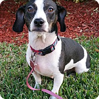 Adopt A Pet :: Rainy - Royal Palm Beach, FL