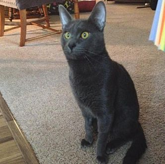 Domestic Shorthair Cat for adoption in Springfield, Oregon - Atticus