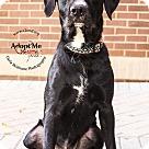 Adopt A Pet :: Diesel