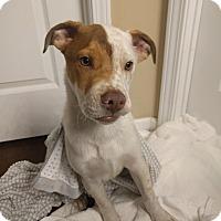 Adopt A Pet :: NUBS - HAGGERSTOWN, MD