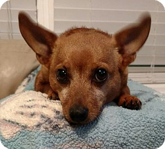 Chihuahua Dog for adoption in Mary Esther, Florida - Rojo