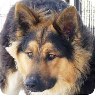 German Shepherd Dog/Tibetan Mastiff Mix Dog for adoption in YERINGTON, Nevada - Rocky