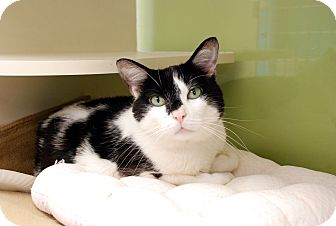 Domestic Shorthair Cat for adoption in Chicago, Illinois - Vegas