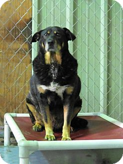 Shepherd (Unknown Type) Mix Dog for adoption in Jackson, Mississippi - River