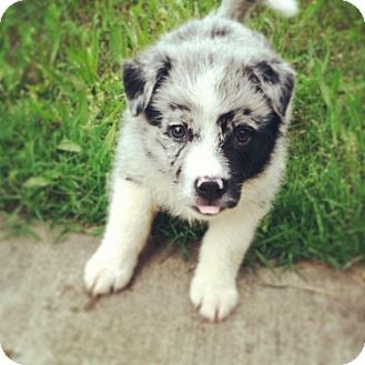 Australian Shepherd Puppy for adoption in Brattleboro, Vermont - Pepper
