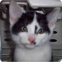 Adopt A Pet :: Kittyt-F - Delmont, PA