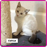 Adopt A Pet :: Kahlua - Miami, FL