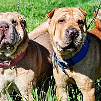 Shar Pei Mix Dog for adoption in Newport, Michigan - Wilma