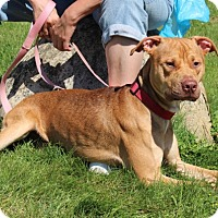 Adopt A Pet :: Red-Prison Dog - Elyria, OH