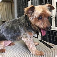 Adopt A Pet :: Crystal - Shawnee Mission, KS