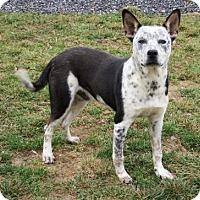 Adopt A Pet :: Brutus - Lincolnton, NC