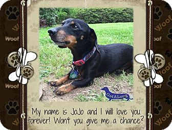 Dachshund Dog for adoption in Green Cove Springs, Florida - JoJo