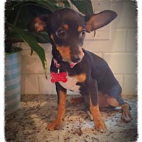 Adopt A Pet :: Rain (in foster) - Scottsdale, AZ