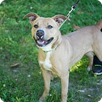 American Pit Bull Terrier Mix Dog for adoption in Tarboro, North Carolina - Sapphire