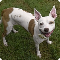 Adopt A Pet :: Cheeto - Huntsville, AL
