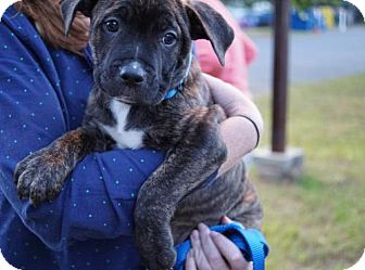 Boxer/German Shepherd Dog Mix Puppy for adoption in Albany, New York - Trixie