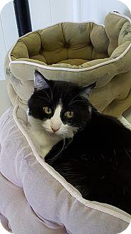 Domestic Shorthair Cat for adoption in Danville, Indiana - Dozer