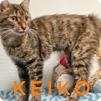 Domestic Shorthair Cat for adoption in Kendallville, Indiana - Keiko