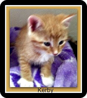 Domestic Shorthair Kitten for adoption in Tombstone, Arizona - Kerby