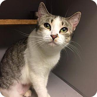 Domestic Shorthair Cat for adoption in New York, New York - Elisa