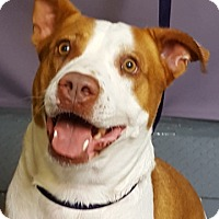 Pointer Mix Dog for adoption in Tucson, Arizona - BLUEBERRY