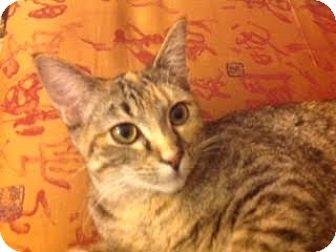 Domestic Shorthair Cat for adoption in Edina, Minnesota - Jill C160129