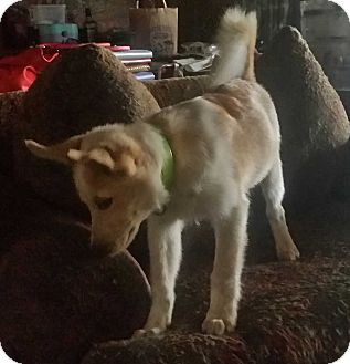 Siberian Husky/Australian Cattle Dog Mix Puppy for adoption in Disney, Oklahoma - April
