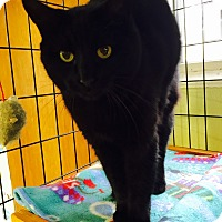 Adopt A Pet :: Kit Kat - Holland, MI