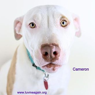 American Staffordshire Terrier Dog for adoption in Bloomington, Minnesota - Cameron
