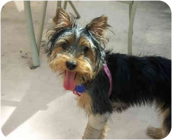 Yorkie, Yorkshire Terrier/Silky Terrier Mix Puppy for adoption in West Palm Beach, Florida - Lily