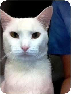 Domestic Shorthair Cat for adoption in Nolensville, Tennessee - Big Boy