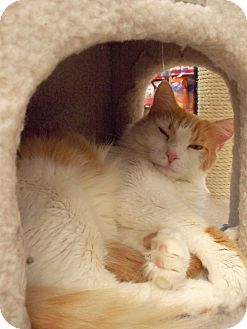 Domestic Shorthair Cat for adoption in Fountain Hills, Arizona - CASINO