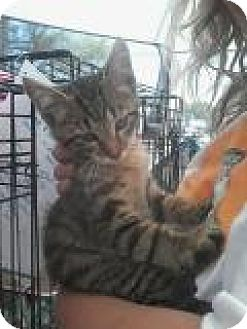 Domestic Shorthair Cat for adoption in Chicago, Illinois - Jacquard