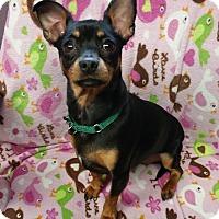 Adopt A Pet :: Pixie - Lisbon, OH