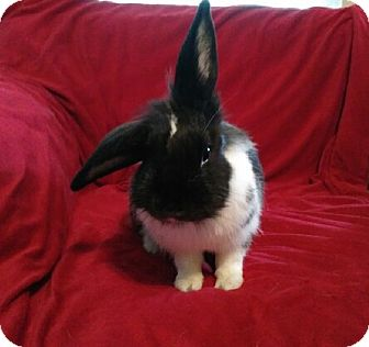 Lionhead Mix for adoption in Watauga, Texas - Lucy