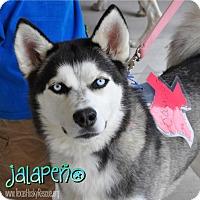 Adopt A Pet :: Jalapeno--Foster needed! - Carrollton, TX