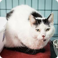 Domestic Shorthair Cat for adoption in Dallas, Texas - Addie