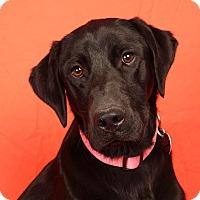 Adopt A Pet :: Bea Lab - St. Louis, MO