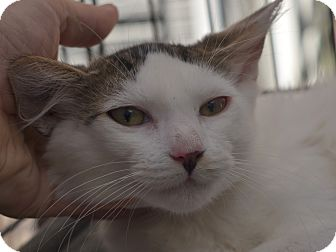 Domestic Mediumhair Cat for adoption in Brooklyn, New York - Sugar
