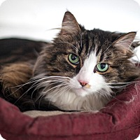 Norwegian Forest Cat Cat for adoption in St Helena, California - Baby