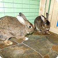 Adopt A Pet :: Callie - Elizabethtown, KY