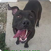 Pit Bull Terrier Mix Dog for adoption in Tiffin, Ohio - Big Chief