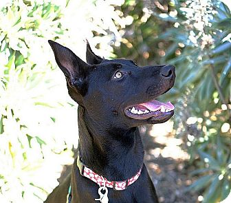 Labrador Retriever/Australian Kelpie Mix Puppy for adoption in Berkeley, California - Roxanne