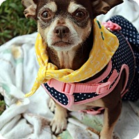Chihuahua Mix Dog for adoption in Youngsville, North Carolina - Sissy