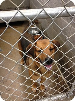 Beagle/Shepherd (Unknown Type) Mix Dog for adoption in Minneapolis, Minnesota - Perry