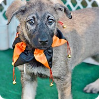 Adopt A Pet :: Coyote-pending adoption - Manchester, CT