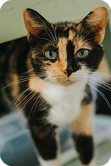 Domestic Shorthair Cat for adoption in Indianapolis, Indiana - Daya